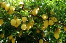 Lemons on the Amalfi Coast, Italy